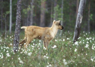 Tutustumismatka metsäpeuran valtakuntaan
